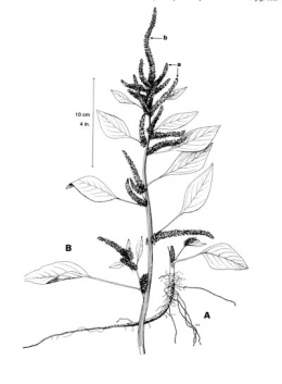 Pigweed, Green