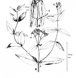 Dogbane, spreading