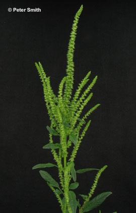 Waterhemp Common Weedinfo Ca