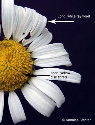 daisy, oxeye  weedinfo.ca, Beautiful flower