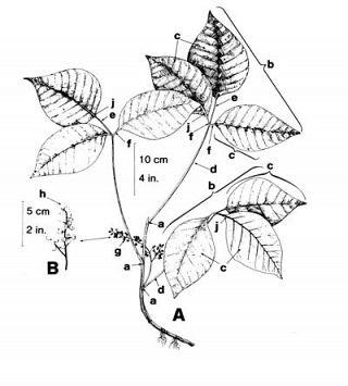 Poison Ivy Weedinfo Ca