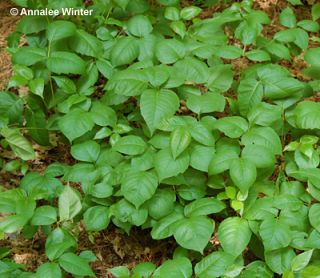 poison ivy plant fall. Figure 6: Poison-ivy plant