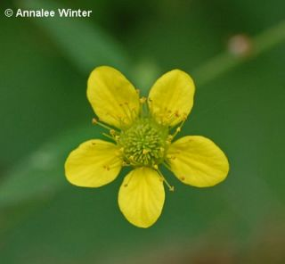 Yellow Avens Weedinfo
